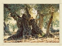 樹齢100年を超えるオリーブの木