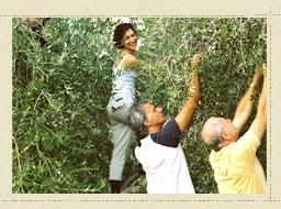 手摘みによるオリーブ収穫